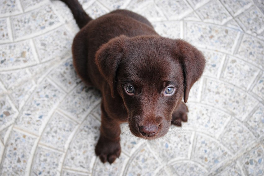 what to feed your puppy's labrador