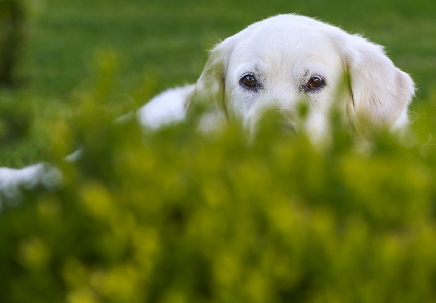 why the dog eats grass